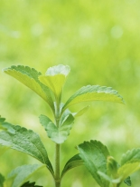 wp_featuredimage_stevia01
